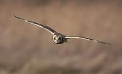 Who blinks first? (Chris Bainbridge1) Tags: asioflammeus shortearedowl inflight cambridgeshire