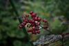 jdy250XX20170907a8096Bias-1 stop.jpg (rachelgreenbelt) Tags: ghigreenbelthomesinc usa greenbelt northamerica midatlanticregion ouryard monocots orderasparagales familyasparagaceae maianthemum maryland americas maianthemumall magnoliophyta asparagaceae asparagaceaefamily asparagales floweringplants irides monocotyledons smilacina spermatophytes
