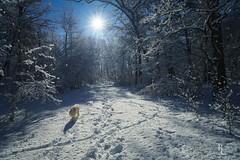 A Winter's Walk in the Woods (RobertCross1 (off and on)) Tags: a7rii alpha bailey boston emount fe1635mmf4zaoss franklinpark goldenretriever ilce7rm2 jamaicaplain ma massachusetts newengland sony bluesky dog forest fullframe golden landscape mansbestfriend mirrorless pet snow sun trees winter woods