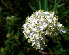 flores brancas (jakza - Jaque Zattera) Tags: buquet branco