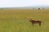 Lioness watching her troop (Kaïyah) Tags: lion lioness savana masaïmara kenya grass landscape
