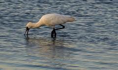 Royal Spoonbill, Hastings, Victoria. (petebond_au) Tags: australia victoria biodiversity twitcher birds conservation classaves wetlands waders royalspoonbill