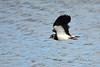 Lapwing (Mike Slade.) Tags: lapwing vanellusvanellus flight bird rspb bowlinggreenmarsh devon uk ©mikeslade