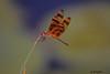 DSC_6994 ~ Dragonfly (stephanie.ovdiyenko) Tags: dragonfly florida floridawetland insect halloweenpennant halloweenpennantdragonfly
