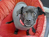 Mia 2  (2) (AbbyB.) Tags: dog canine shelter pet rescue adopt dachshund mtpleasantanimalshelter easthanovernj newjersey shelterpet petphotography