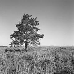 Lone Tree in Grand Teton National Park, Wyoming. (Shaun Nelson) Tags: 120 120film kodak kodakd76 kodaktrixpan320 lowerfalls mat124g mediumformat waterfall yashica yashicamat124g yellowstone yellowstonenationalpark 6x6 grandteton grandtetonnationalpark tetons nationalpark film filmphotography tree filmisnotdead tlr analog twinlensreflex d76 believeinfilm yashicamat ishootfilm shootfilm blackandwhite bw wy wyoming utfp