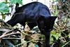 A pelagem negra da pantera (mpsfotografo) Tags: cat gato gata maracuja arvore tree passionfruit fruit panther pantera blackpanther black dark preto preta panterapreta coat pelage yard quintal jardim garden