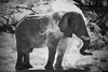Another Dust Bath (casper.b.jensen) Tags: elephant africa dust bathing olympus afrika wildlife animals bw black white grey