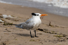 Royal Tern (Maxine Livingston) Tags: atlanticblvdbeach ftlauderdalebeach lessercrestedtern sanddunes