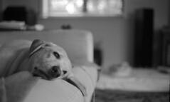 Sleepy (PositiveAboutNegatives) Tags: leica leitz rangefinder m3 leicam3 50mm 50mmsummicrondr dualrange film analog bw blackandwhitefilm rodinal coolscan dog lab alb ardor yellowlab bokeh