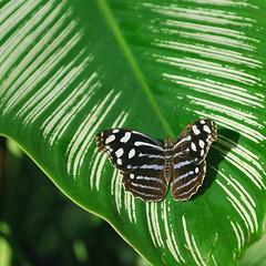 Key West (Florida) Trip 2017 0081Ri sq (edgarandron - Busy!) Tags: florida keys floridakeys keywest butterflyhouse keywestbutterflynatureconservatory
