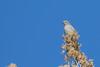 Townsend's Solitaire (Myadestes townsendi) (Mason Flint) Tags: amniota animalia aves avilalae bird chordata eumaniraptora geographicplaceincludingtown location lospinos myadestestownsendi nm neognathae neornithes newmexico northamerica passeriformes rioarribacounty sauropsida teleostomi tetrapoda thrushes townsendssolitaire turdidae usa animals birds city countryetc county