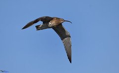 Curlew. (spw6156 - Over 6,404,003 Views) Tags: curlew iso cropped copyright steve waterhouse 640