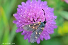 Farfalla_126 (Rolando CRINITI) Tags: farfalla macro passodelfaiallo insetti natura