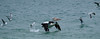 Australian pelican (Pelecanus conspicillatus), Gold Coast, Queensland (adamhanley751) Tags: australian pelican pelecanus conspicillatus gold coast queensland