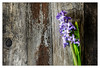 Hyacinth (Unintended_Keith) Tags: hyacinth flower wood weathered colourful natural canon1dx canonef2470mmf4lisusm