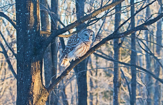 Owl in late day light  (Large)