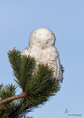 sovoblog.ru-227017260452372020-2013-12-04 (Ariara_G) Tags: 1dmkiv 500mmf4l buboscandiacus damonpoint joshuaclark momentsinnature oceanshores owl raptor snowy snowyowl washington