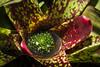 Neoregelia mrmorata (Fatima Sandrin) Tags: 2017 botânica jbmb jardimbotânico jardimbotânicomunicipaldebauru científica coleção conservação documentação educaçãoambiental flores fotografia imagem lazer pesquisa plantas preservação vegetal vegetação ©2017fátimasandrin árvores