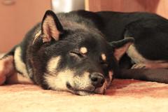 So sleepy (~Felka) Tags: shiba inu dog black tan hund