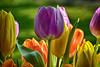 Premières fleurs du jardin (GerardMarsol) Tags: france aquitaine landes feuilles fleur tulipe mauve jaune rouge orange vert printemps macro nikoniste nikon tamron détail