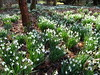 Snowdrops (cocopie) Tags: snowdrops stirlingshire