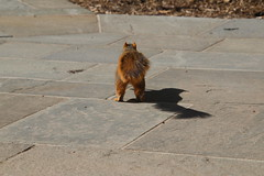 Squirrels On a Warm Late Winter's Day in Ann Arbor at the University of Michigan (February 26th, 2018) (cseeman) Tags: gobluesquirrels squirrels annarbor michigan animal campus universityofmichigan umsquirrels02152018 winter eating peanut februaryumsquirrel sunny bright latewinter