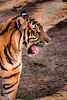 Tiger in Profile 3-0 F LR 2-20-18 J164 (sunspotimages) Tags: tiger tigers nationalzoo fonz fonz2018 nature zoo zoosofnorthamerica zoos wildlife bigcat bigcats cat