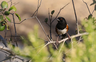 Spotted Towhee Inceville Los Liones Canyon Los Angeles California 018