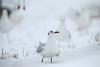 Black headed gull (Teruhide Tomori) Tags: blackheadedgull bird wild nature winter snow white animal japan shiga lakebiwa 滋賀 琵琶湖 ユリカモメ 日本 冬 雪 野鳥 鳥