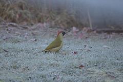 Green Woodpecker on the frosty ground (rtatn8) Tags: uk wildlife bird greenwoodpecker picusviridis bushey hertfordshire england nature avian winged wild color colour landscapeorientation ontheground flickr