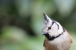 Crested tit 1167
