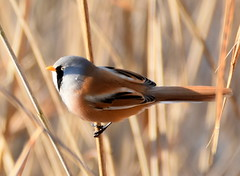Pretty Boy. (pstone646) Tags: bird beardedtit nature animal wildlife fauna closeup reeds stodmarsh kent feathers plumage