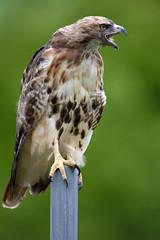 _M4_8308.jpg (rdelonga) Tags: buteojamaicensis redtailedhawk