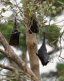 Grey-headed Flying Fox —— Pteropus poliocephalus