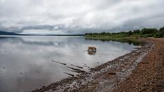 Trolling the Shallows D7C_4502 (iloleo) Tags: deerlake newfoundland cloudy landscape dog sherman goldenretriever reflection shoreline summer nikon d750 nature