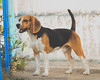 The Beagle (Lex Arias / LeoAr Photography) Tags: 2018 barquisimeto beagle dog iglexariasphotos leoarphotography lexarias mascota nikon nikond3100 perro pet venezuela