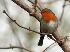 Winter Robin! (RiverCrouchWalker) Tags: robinredbreast robin erithacusrubecula winter january 2018 chelmsford essex chelmervalleynaturereserve perching winterrobin bird