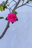Chinese Garden Detail (Robert Borden) Tags: detail nature pink chinesegarden huntingtongardens pasadena losangeles la socal cali california canonusa canonrebel canonphotography canon serene calm quiet