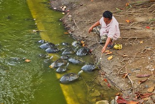 Feeding the turtles with bananas at Bang Pa-In palace in Ayutthaya province, Thailand