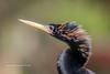Anhinga Portrait (tclaud2002) Tags: anhinga bird wildlife snakebird nature mothernature animal outdoors greatoutdoors portrait closeup phippspark stuart florida usa
