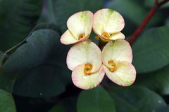WOL Calauan Laguna Philippines Day 7 (154) (Beadmanhere) Tags: philippines flowers