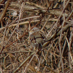 American Tree Sparrow (Dendroica cerulea) Tags: americantreesparrow spizelloidesarborea spizelloides passerellidae passeroidea passerida passeri passeriformes psittacopasserae eufalconimorphae aves bird birds sparrow spizellaarborea winter donaldsonpark highlandpark middlesexcounty nj newjersey
