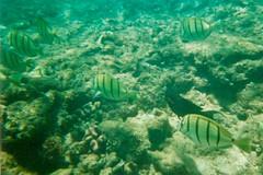 Convict Tangs Maui Honolua Bay Hawaii 95-16-13 8.3.95 Underwater 5 (1) (wbaiv) Tags: hawaii maui underwater waterproof disposable camera film kodak snorkeling depth honolua bay laperousebay keoneʻoʻiobay fish coral clear blue water bright sunlight august 1995