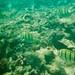Convict Tangs Maui Honolua Bay Hawaii 95-16-13 8.3.95 Underwater 5 (1)
