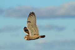 Focus (Ariara_G) Tags: shorteared owl hunting raptor nature bird simon roy wildlife winter
