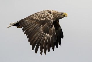 White-tailed eagle.   Haliaeetus albicilla.
