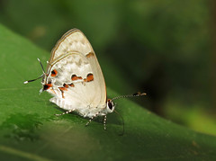 Ministrymon cleon (Camerar 4 million views!) Tags: butterfly lycaenidae ministrymoncleon peru butterflies insect