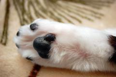 Our Cat's Back Paw. (dccradio) Tags: lumberton nc northcarolina robesoncounty cat meow inside indoors furry fur animal pet housecat kitty kittycat feline housepet food paw blanket blackandwhitecat bwcat blackwhitecat tuxedocat foot nikon d40 dslr