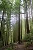 Redwood Trees (Starfreak611) Tags: portland oregon redwoodtrees trees outdoors outdoorphotography nature naturephotography canon eastcoast portlandoregon arboretum leaves green